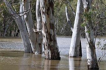 Eucalyptus camaldulensis Murrumbidgee 29632022291 af10483a79 o.jpg