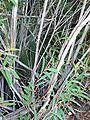 Eucalyptus cunninghamii Perrys mallee trunk - Blue Mountains NP.jpg