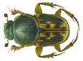 Euoniticellus parvus Kraatz, 1859 male (8509550697).png