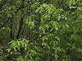 Euonymus verrucosa070515a.jpg