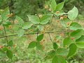 Euonymus verrucosus.JPG