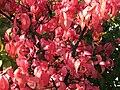 Euonymus verrucosus autumn colour.JPG