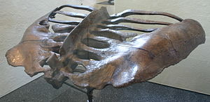 Euoplocephalus - Pelvis of specimen AMNH 5337