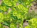 Euphorbia amygdaloides0.jpg