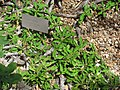 Euphorbia decaryi var. spirosticha.jpg