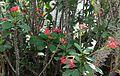 Euphorbia milii - Palmengarten Frankfurt 1.jpg