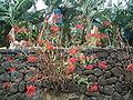Euphorbia pulcherrima (San Andrés) 01.jpg