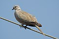Eurasian Collared Dove Streptopelia decaocto by Dr. Raju Kasambe DSCN2357 (5).jpg