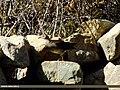 Eurasian Coot (Fulica atra) (15862395936).jpg