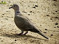 Eurasian collared dove IMG 4979.jpg