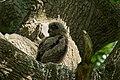 Eurasian eagle-owl (Bubo bubo), chick.jpg