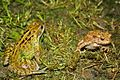 European Common Frog (Rana temporaria) & European Toad (Bufo bufo) (8619563738).jpg