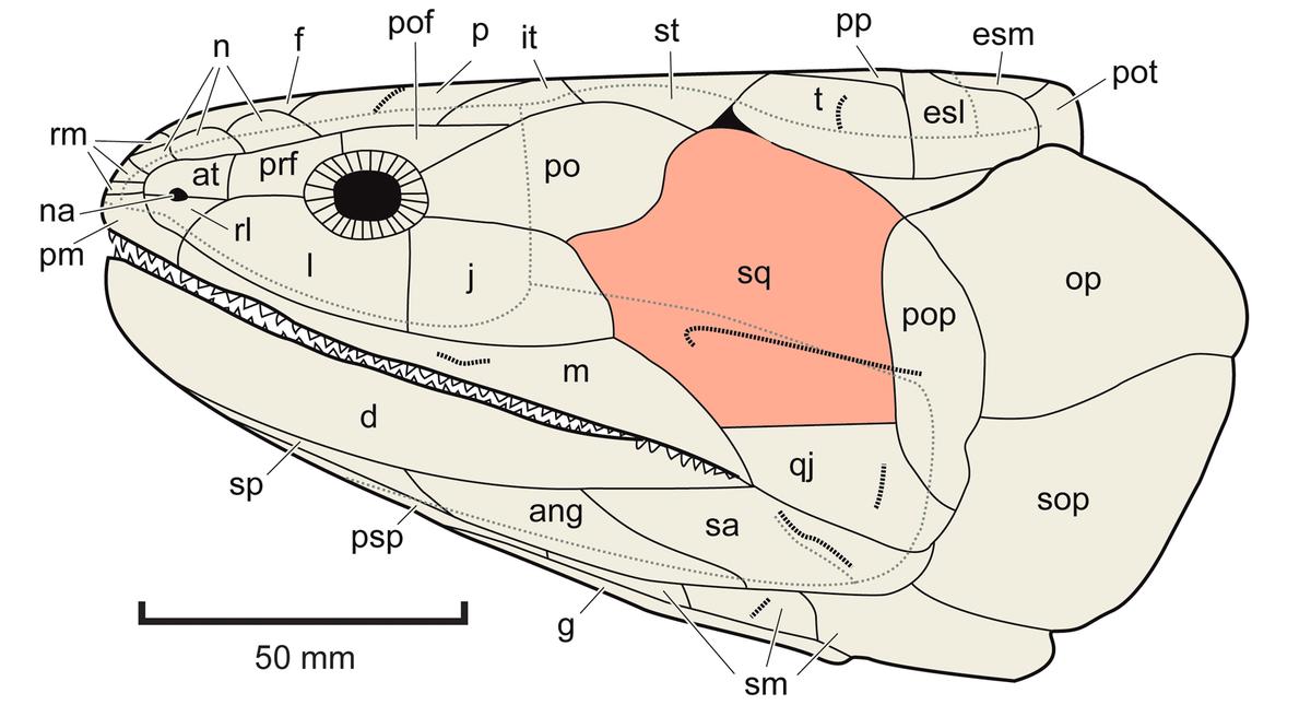 Schuppenbein – Wikipedia