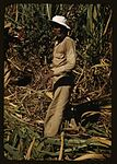 FSA borrower and participant in the sugar cane cooperative 1a34011v.jpg
