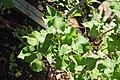 Fagopyrum esculentum in Jardin botanique de la Charme.jpg