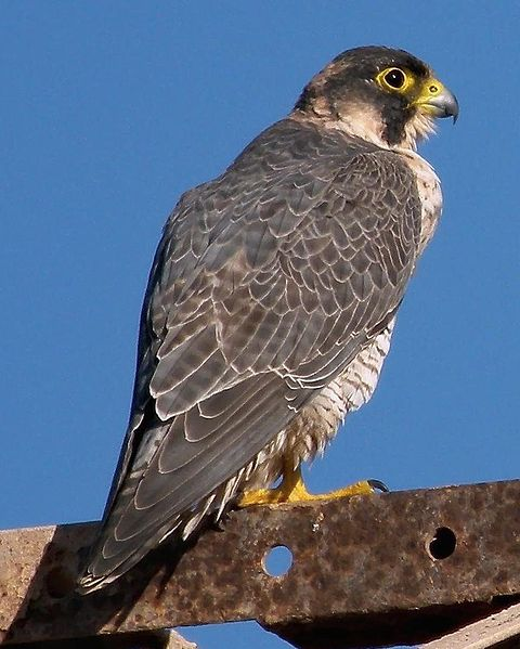 File:Falco pelegrinoides 3.jpg