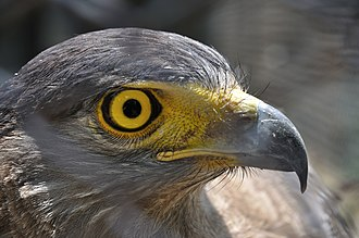 Zoological Garden, Alipore - A crested serpent eagle at the zoo.