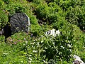 False hellebore, arnica, Lewis monkey flower, etc. (3e4be59f1b8343cbb8c1881955de1eed).JPG