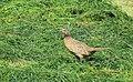 Fasan Common Pheasant (14287737848).jpg