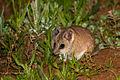 Fat-tailed Dunnart (Sminthopsis crassicaudata) (14559441713).jpg