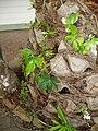 Fatsia japonica (Thunb.) Decne. and Planchon (AM AK306378-2).jpg