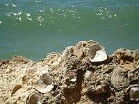 Felsenküste Conil Muscheln.JPG
