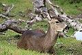 Female black-tailed deer (31686565215).jpg