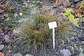 Festuca valesiaca - Botanischer Garten, Dresden, Germany - DSC08713.JPG