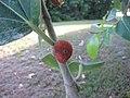 Ficus Benghalensis - പേരാൽ 02.jpg