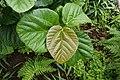Ficus auriculata 0227.jpg