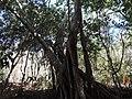 Ficus cotinifolia 636421.jpg