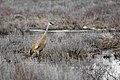 File-Sandhill crane;-Neal Herbert;-May 2014;-Catalog 19415d;-Original 6803 (c82f4370-1078-450f-85db-c87bb24ff71e).jpg