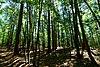 Finnerud Pine Forest.jpg