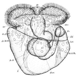 Walter Garstang - Diagram of veliger larva of sea slug Fiona pinnata