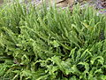 Fishbone fern (3124229985).jpg
