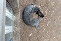 Flemish Giant rabbit.jpg