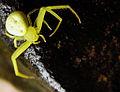 Flickr - Furryscaly - Thomisidae.jpg