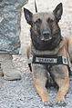 Flickr - The U.S. Army - K-9 Kandy.jpg