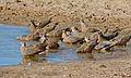 Flock of Burchell's Sandgrouse (Pterocles burchelli) (6471953609).jpg