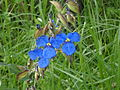 Flor azul del Parque Ecológico de la Ciudad de México.JPG