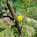 Flor del huizache (Vachellia farnesiana) - Gto.jpg