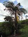 Flores e frutos verdes de Jerivá, gerivá, coqueiro, coquinho amarelo (Syagrus romanzoffiana (Cham.) Glassman) família palmae, entre planta de lima ácida (C. latifolia Tanaka) 'Tahiti' - panoramio.jpg