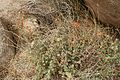Flowers in Joshua Tree National Park (3432968345).jpg