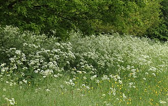 Beren - A member of the Apiaceae family Anthriscus sylvestris growing by woods