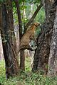 Flying Leopard.jpg