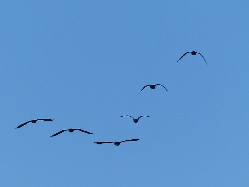 File:Flying birds Ploermel.jpg