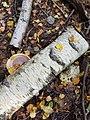 Fomitopsis betulina 97525950.jpg