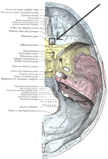 "Base of the skull. Upper surface. (On the left, ""Posterior ethmoidal foramen"" is the 9thlabel from the right."