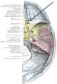 Foramen ethmoidale posterius.PNG
