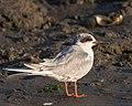 Forster's Tern, non-breeding adult (34121455915).jpg